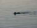 Beobachter-Seehund